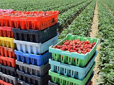 Fresh produce for transport