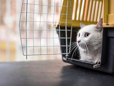 White cat in travel carrier