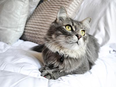 Grey cat on bed looking up