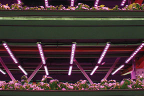 Illumitex pink LED lighting